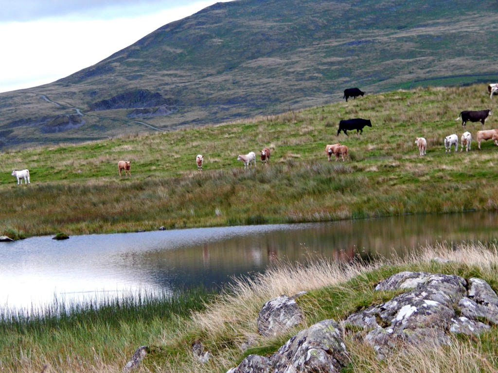 Cows and Tarn - Copy